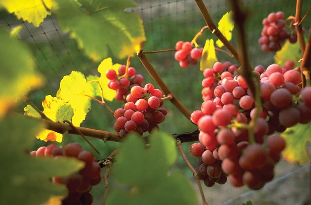 Les vignobles de la région du Niagara tirent parti de la croissance du marché du vin dans notre province. (Photo : Tourisme Ontario)