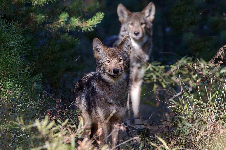Loups (Photo : Michael Runtz)
